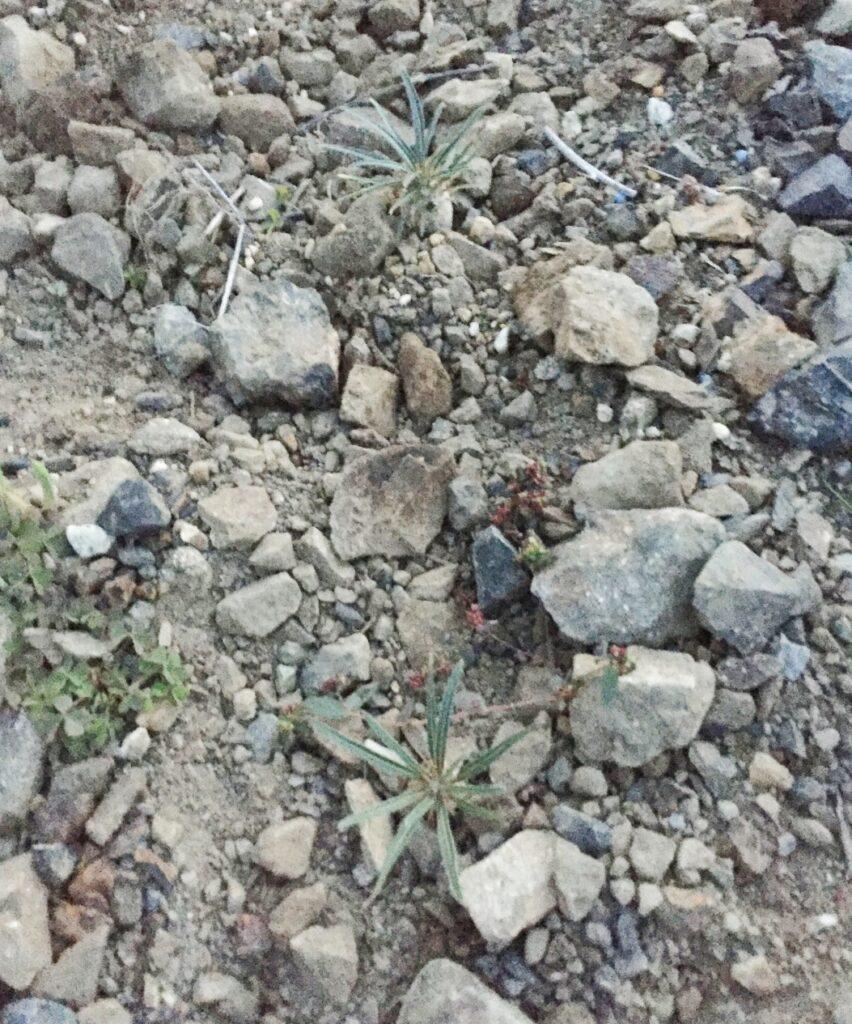 OさんのPachypodium rosulatum var. gracilius 実生 パキポディウム グラキリス アンボンゲンセ コーデックス 塊根 地植え caudex succulents