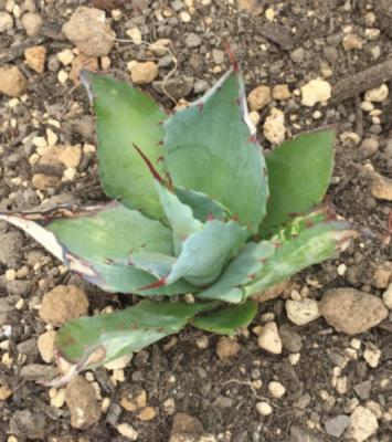 Agave titanota'blue'(?) 上記名義の種子を購入して育てた実生株。しかしチタノタブルーとは明らかに違う容姿。種子の販売元に問い合わせても確認中の一点張り。そんな思い入れのある株。 40株程から選抜して植え込み アガベ 多肉 珍奇 ビザール チタノタ 地植え succulents