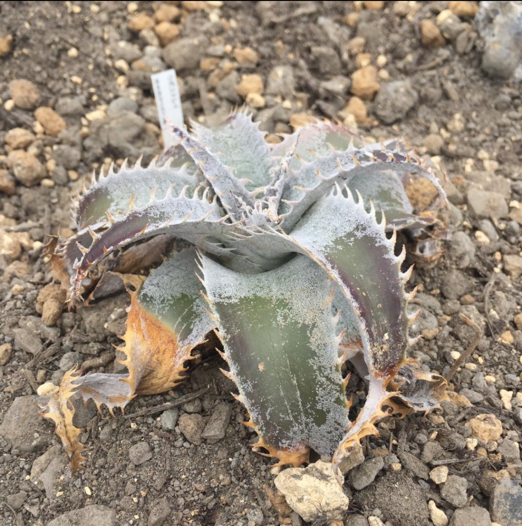 Dyckia marnier-lapostollei 始まりと終わりのディッキア。ディッキア界には「MLから始まりMLで終わる」という格言があるとか。知らんけど ディッキア ブロメリア 地植え 珍奇 bromeria fieldplants。 昨シーズン屋外越冬株寒さには少し弱い印象