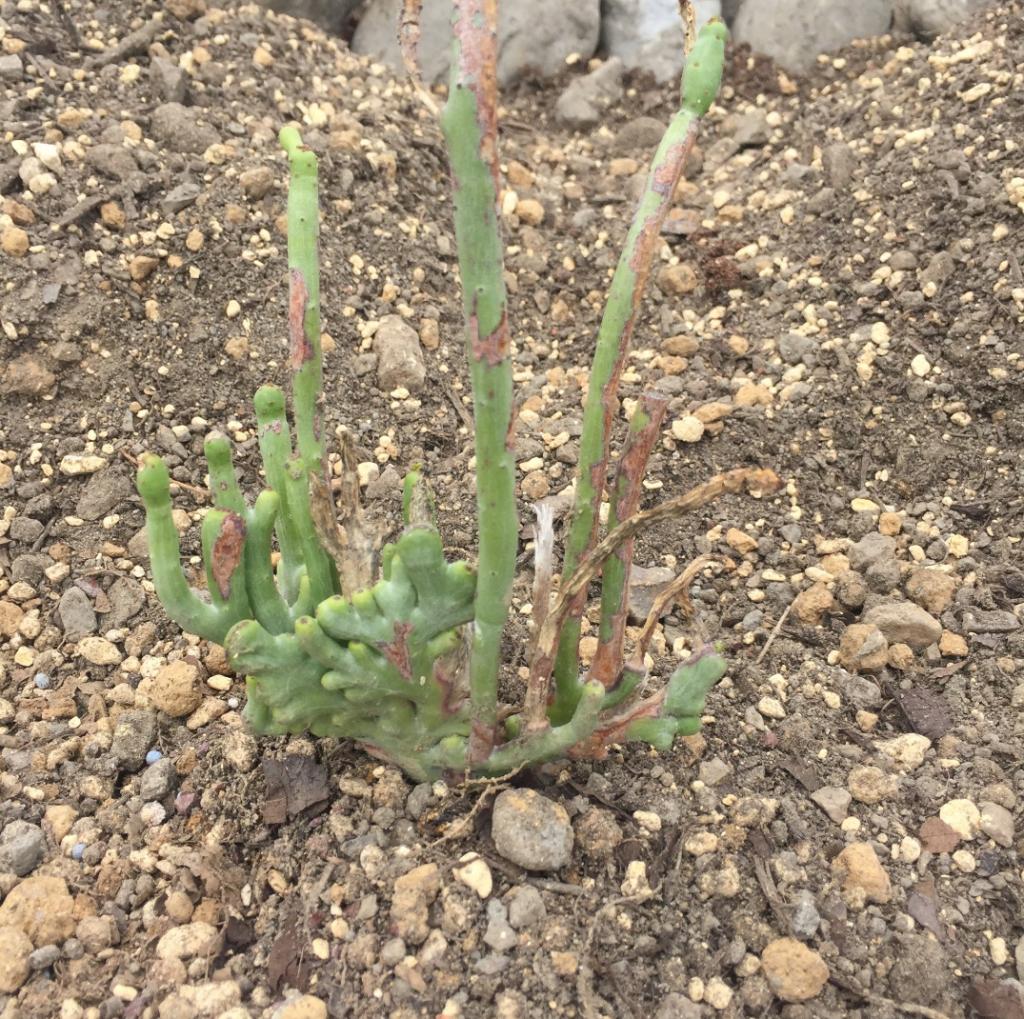 グーチョキパー 2年程前にホームセンターで購入。 その後徒長はするもほぼ変化なし ユーフォルビア 多肉植物 珍奇 ビザール 地植え caudex succulents cactus