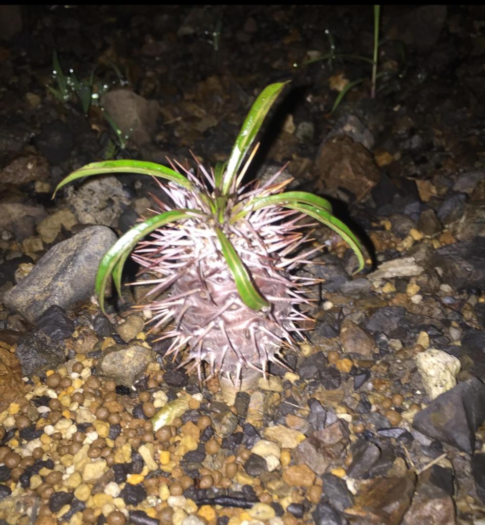 M君のPachypodium lamerei パキポディウム グラキリス アンボンゲンセ コーデックス 塊根 地植え caudex succulents