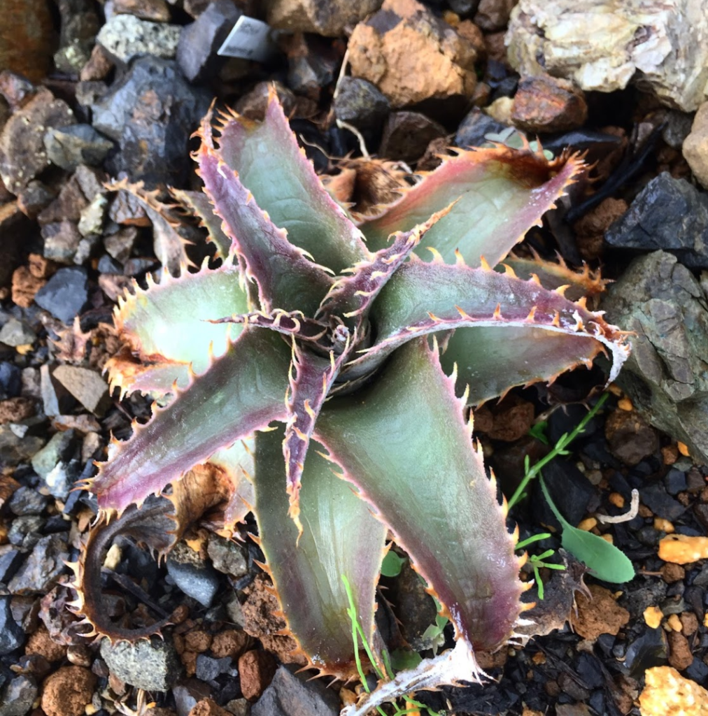 Dyckia marnier-lapostollei ディッキア ブロメリア 地植え 珍奇 bromeria fieldplants