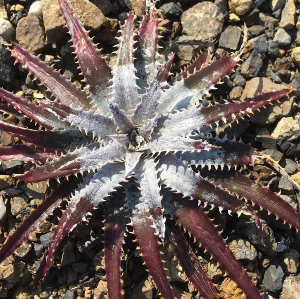 M君のディッキア トリコームの乗り方が露骨なのでパシャリ ディッキア ブロメリア 地植え 珍奇 bromeria fieldplants