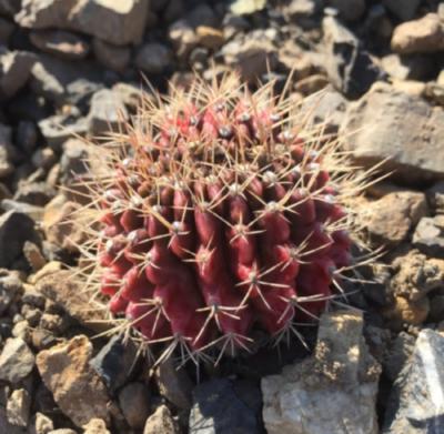 Oさんの名無しのサボテン綴れている? (名前知ってる方いたら教えて) サボテン 多肉植物 珍奇 ビザール cactus succulents