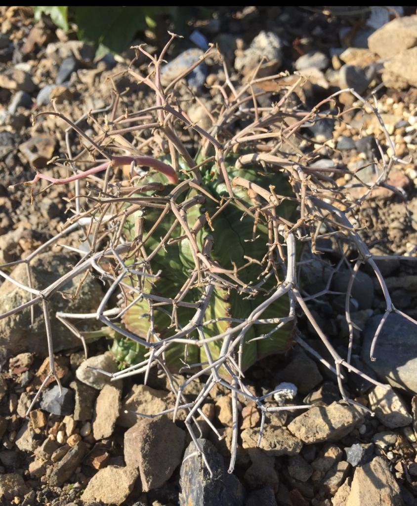 OさんのEuphorbia super valida ユーフォルビア 多肉植物 珍奇 ビザール 地植え caudex succulents cactus