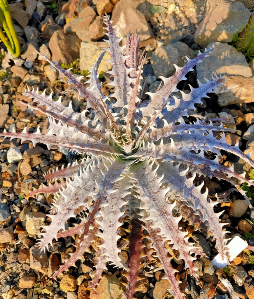 Dyckia Mercury×Bone ディッキア ブロメリア 地植え 珍奇 bromeria fieldplants