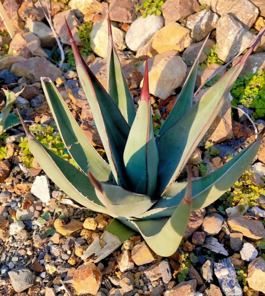 Agave nigra 'Sharkskin' アガベ 多肉 珍奇 ビザール チタノタ 地植え succulents