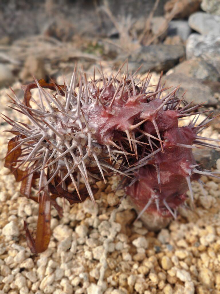 凍結して溶けました パキポディウム グラキリス アンボンゲンセ コーデックス 塊根 地植え caudex succulents