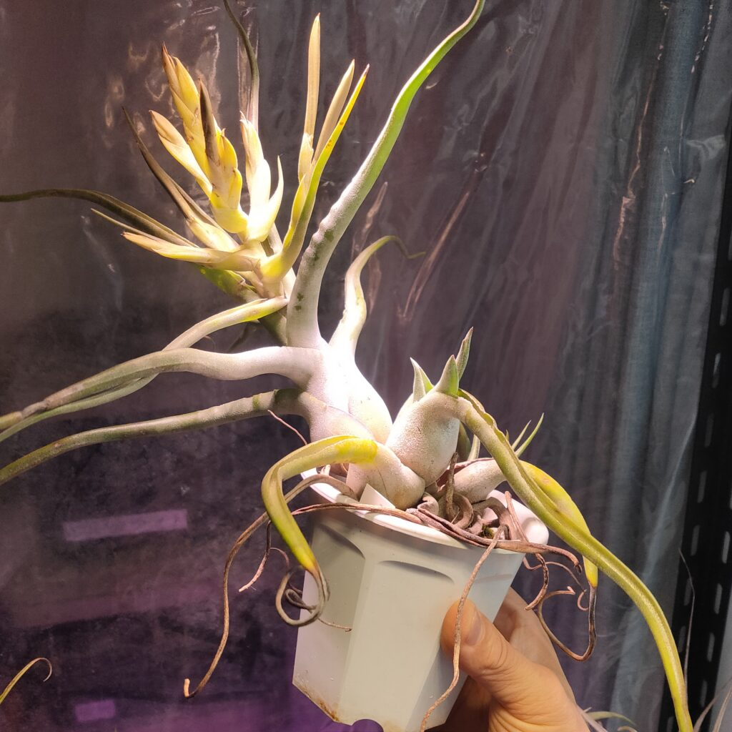 Tillandsia 'Ty'  (T. ehlersiana X T. bulbosa)
