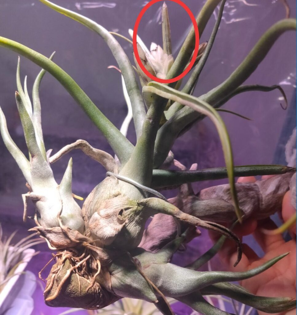 Tillandsia Showtime (T. bulbosa X streptophylla)