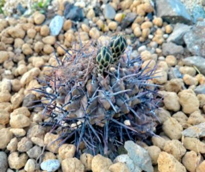 Gymnocalycium gibbosum v. nigrum サボテン 多肉植物 珍奇 ビザール cactus succulents