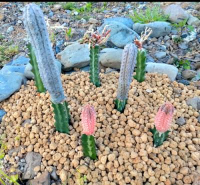 Euphorbia abdelkuri (グレー) Euphorbia abdelkuri cv. ' Damask' (ピンク) どちらも「ラクティア」接ぎ木 ユーフォルビア 多肉植物 珍奇 ビザール 地植え caudex succulents cactus