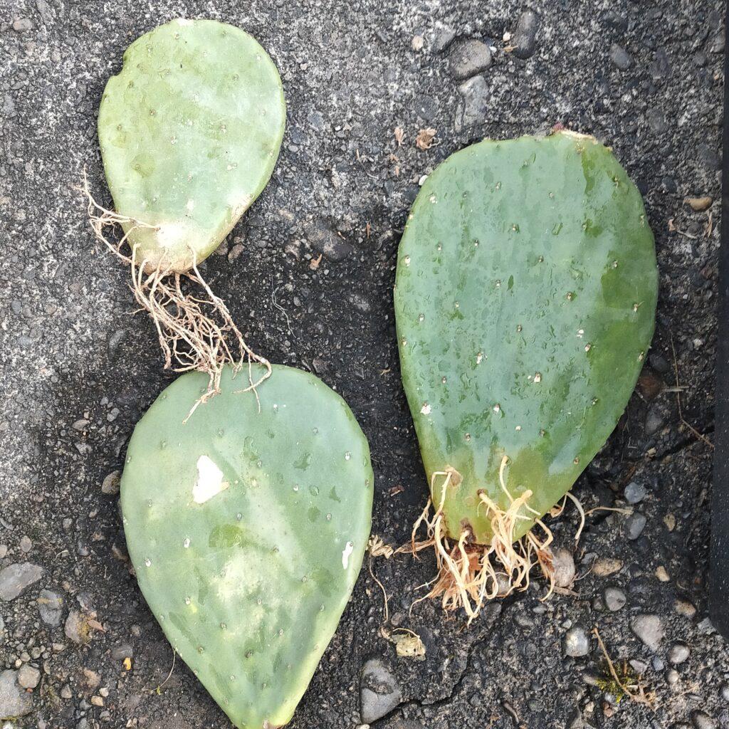 オプンチア サボテン 多肉植物 珍奇 ビザール cactus succulents バーバンク