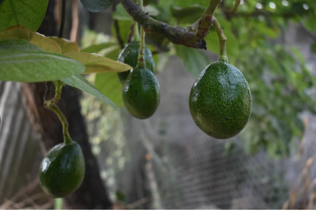 アボカド 果樹園 未来予想図 果物 国産