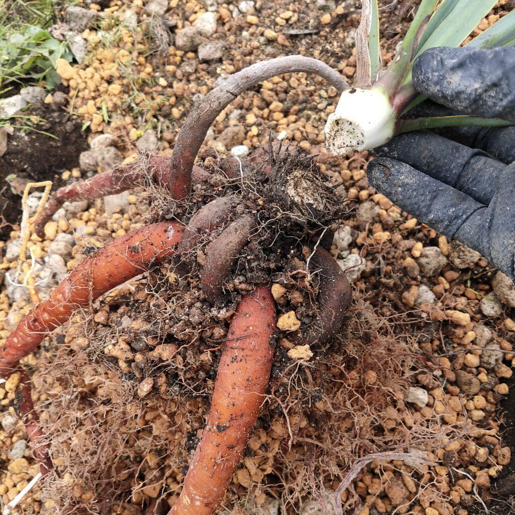 ユッカ ロストラータ 多肉 珍奇 ビザール 地植え succulents caudex