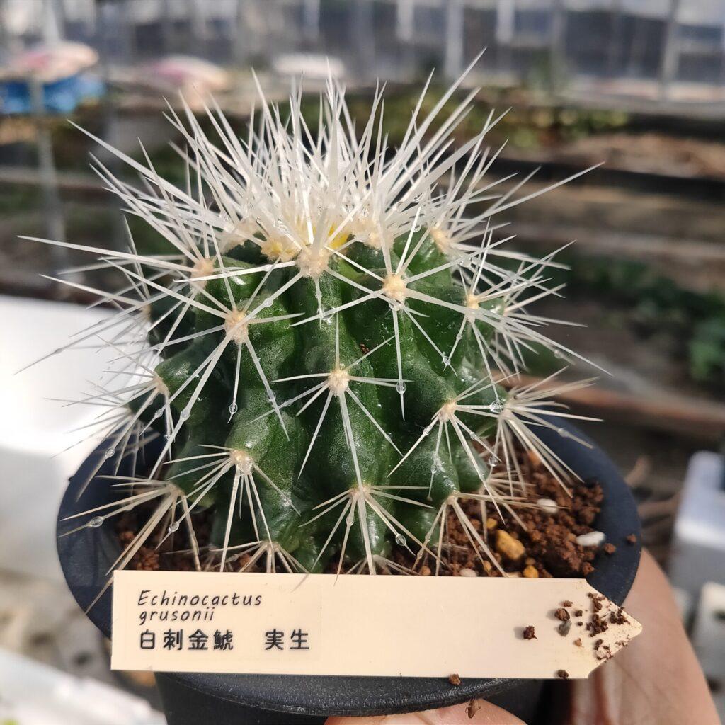 Echinocactus grusonii 白刺金鯱 サボテン 多肉植物 珍奇 ビザール cactus succulents オプンチア ウチワサボテン opuntieae