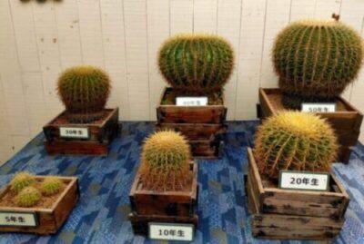 Echinocactus grusonii 白刺金鯱 サボテン 多肉植物 珍奇 ビザール cactus succulents オプンチア ウチワサボテン opuntieae 伊豆シャボテン公園