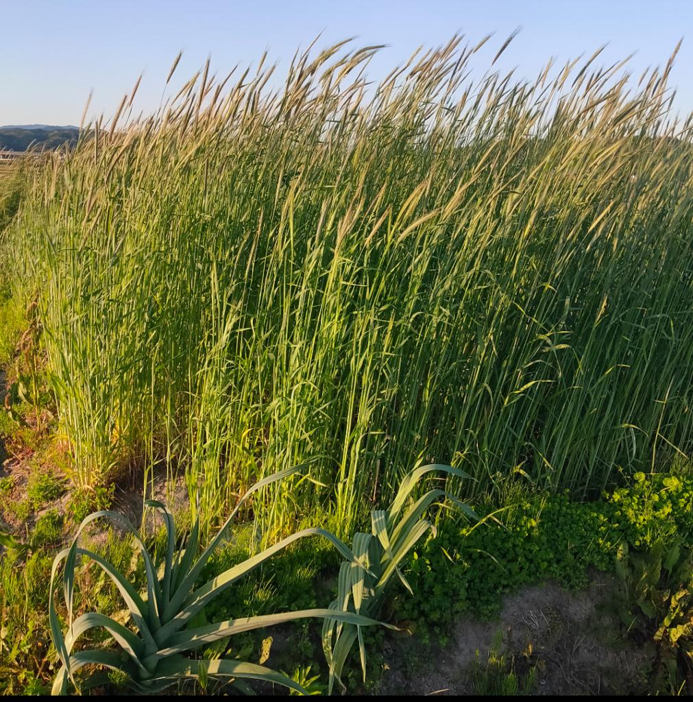 【市民農園】麦の生長記録