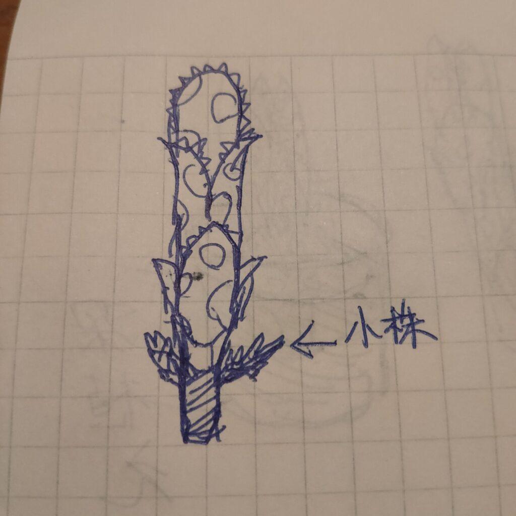 ビルベルギア ホヘンベルギア アナナス ブロメリア タンクブロメリア 地植え bromelia fieldplants