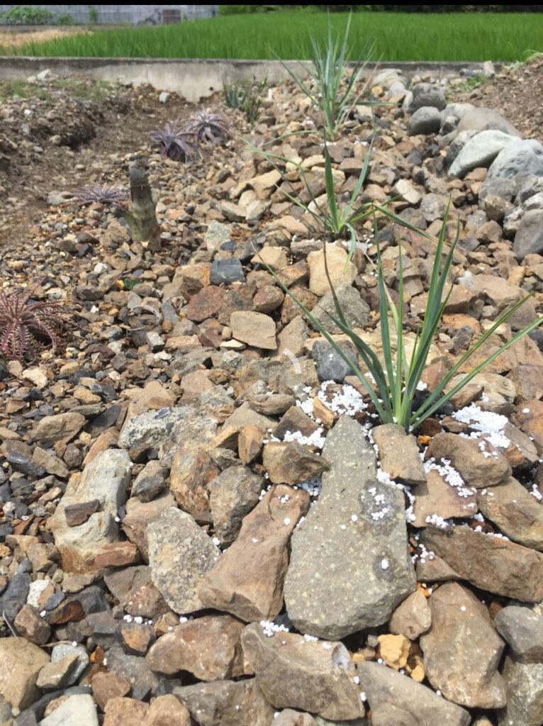 ユッカ 地植えVS鉢植え 対決 栽培実験 大人の植物自由実験 検証 促成栽培  field  plant Yucca ロストラータ 多肉 珍奇 ビザール  succulents caudex