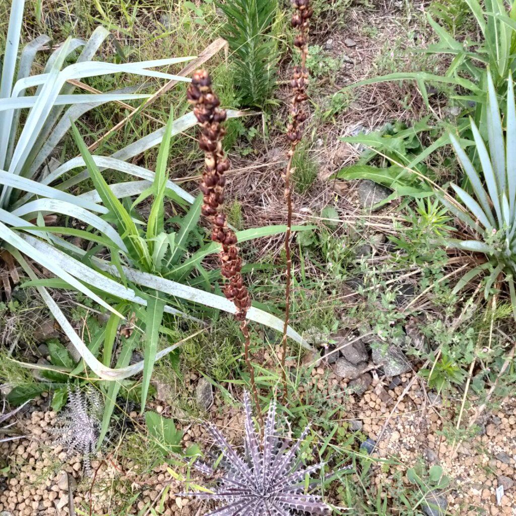 ディッキア ブロメリア 地植え 珍奇 bromeria fieldplants