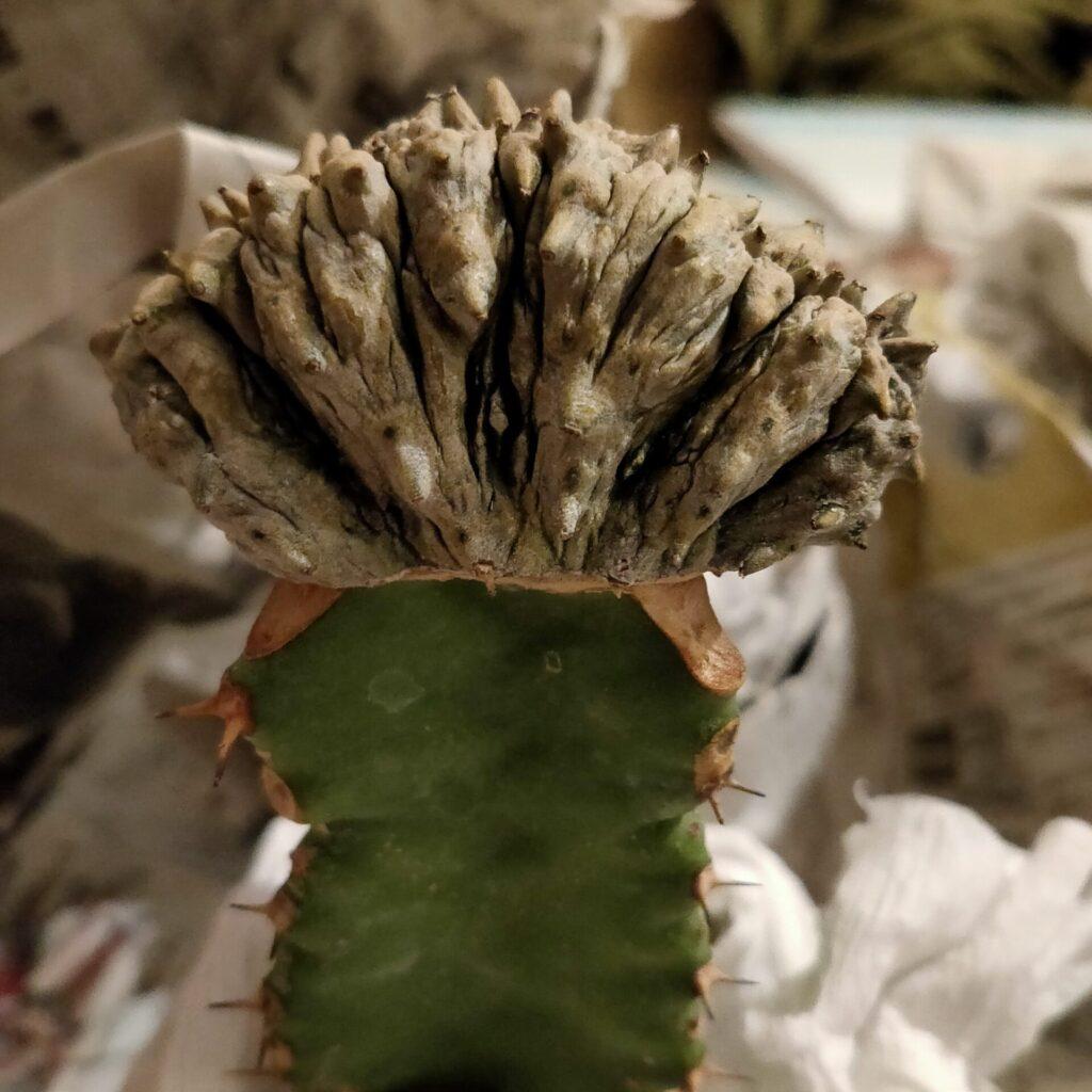 ユーフォルビア アブデルクリ綴化 Euphorbia abdelkuri f.crist
