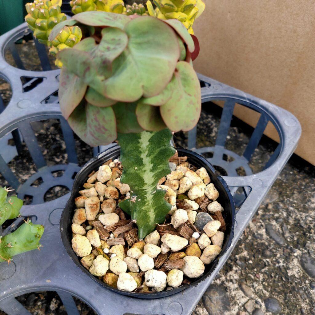 EuphorbiaCharleswilsoniana ユーフォルビア チャールズウィルソニアナ