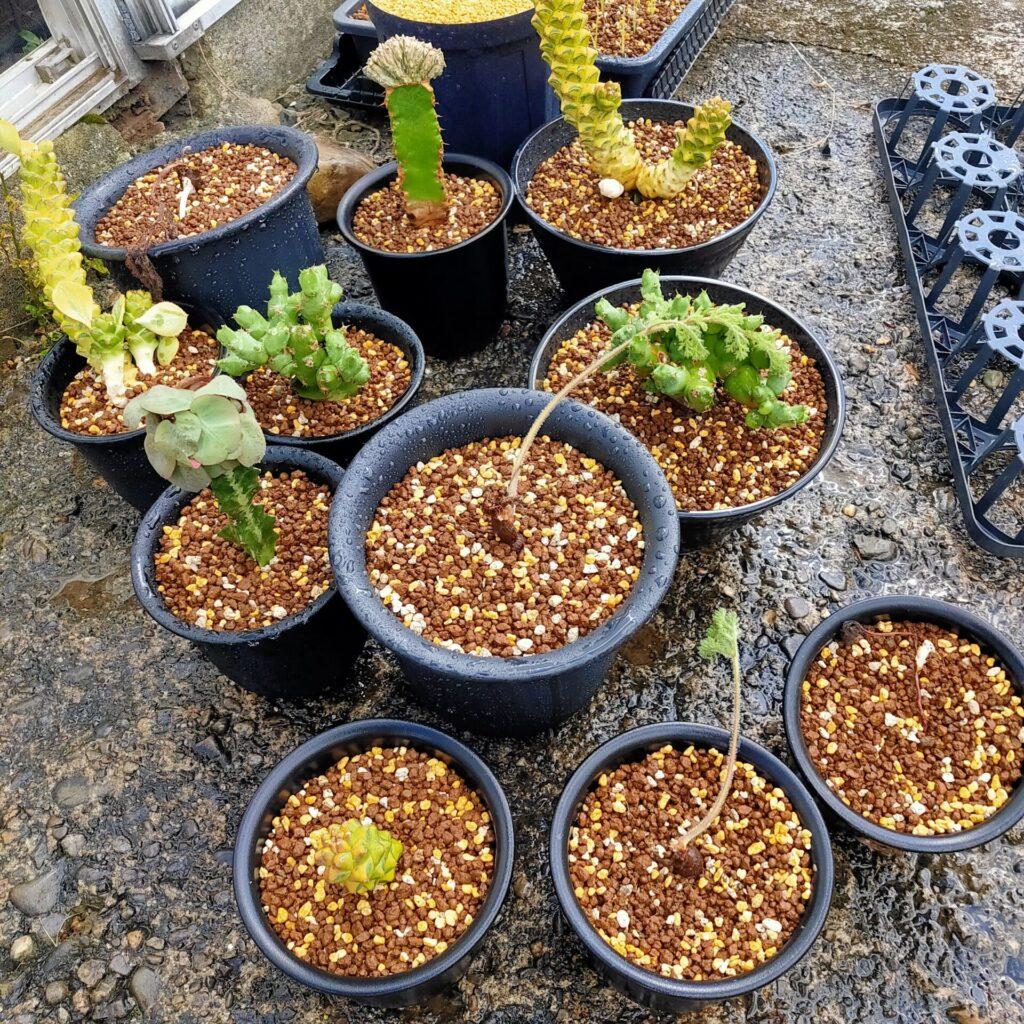 ユーフォルビア アブデルクリ綴化 Euphorbia abdelkuri f.crist Pelargonium triste ぺラルゴニウム トリステ